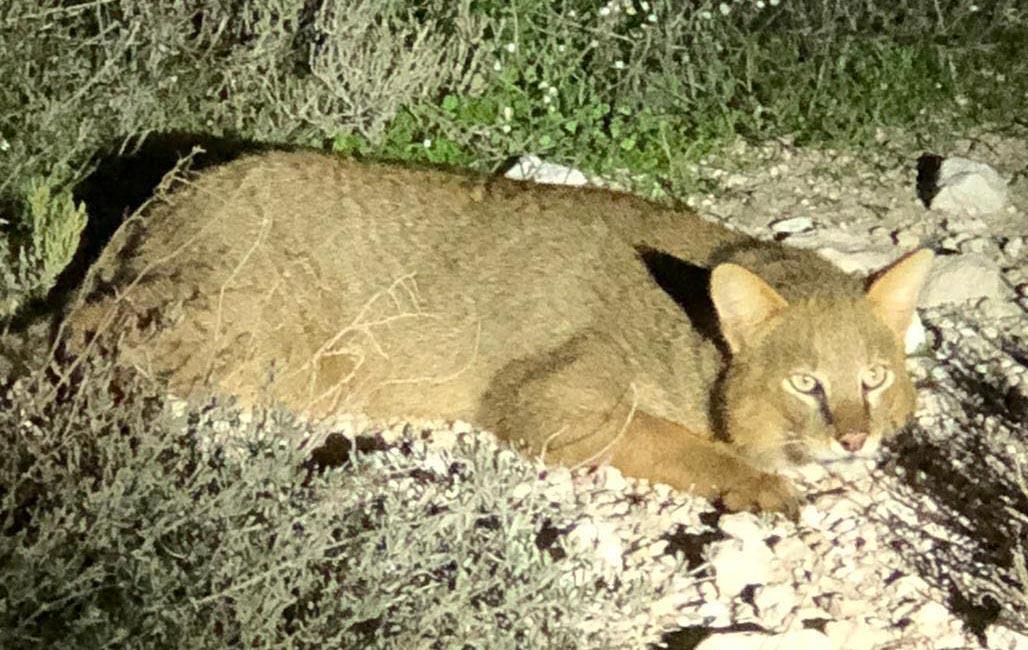 Nesli tükenmekte olan 'Saz Kedisi' Milli Park'ta görüntülendi